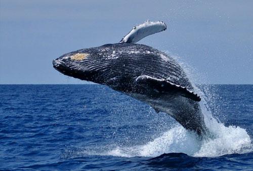 Des baleines au large de l'Afrique du Sud